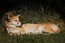 Australian Dingo by Jason Asher