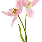 Tulip Duet by Ann Garrett
