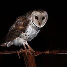 Eastern Barn Owl by Ian Creek