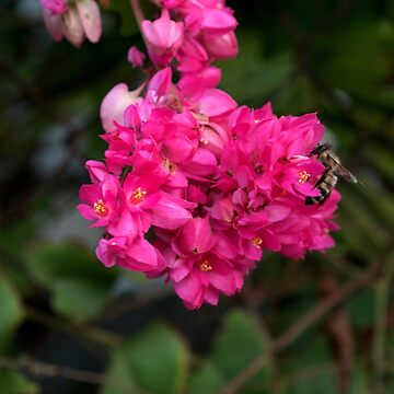 Bee on Key West Flower by seacucumber