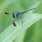 Dragonfly by kathie