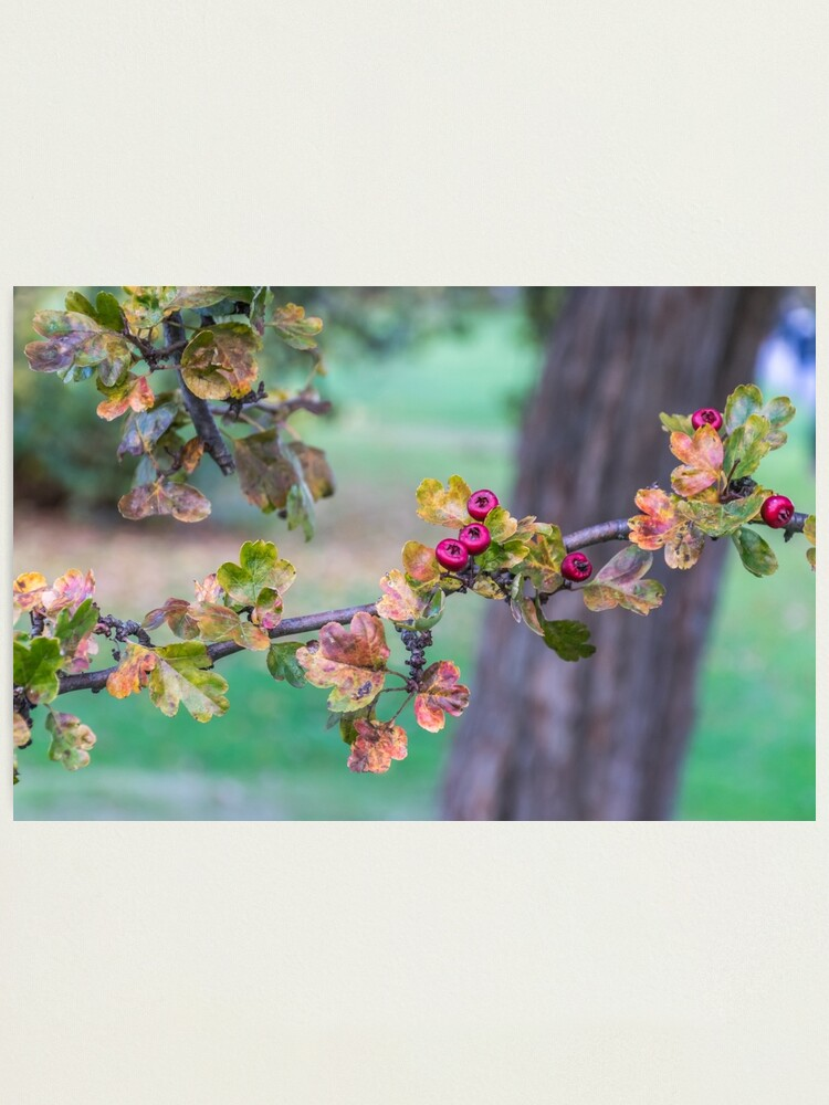 Alternate view of Red berries on a tree branch  Photographic Print