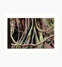 Moreton Bay fig at Copeland Tops Art Print