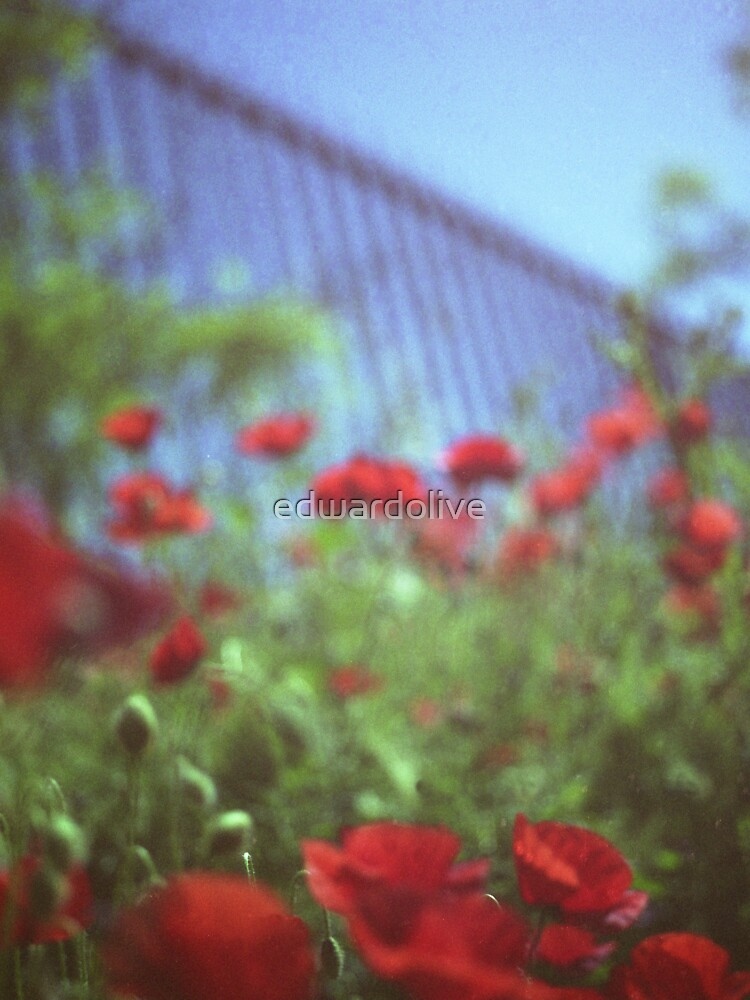 Poppies growing up fence in hot summer square Hasselblad medium format film analog photograph by edwardolive