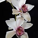 Orchid I by Catherine Dipper