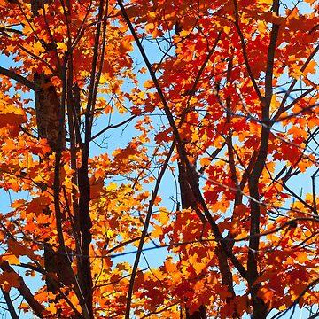 Vermont Red Maples by srwdesign