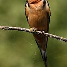 Barn Swallow Resting on a Branch by Wolf Read