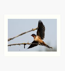 Barn Swallow Taking Flight Art Print