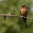 Barn Swallow Roosting Next to a Spider Web by Wolf Read