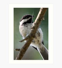 Black-Capped Chickadee From Below Art Print