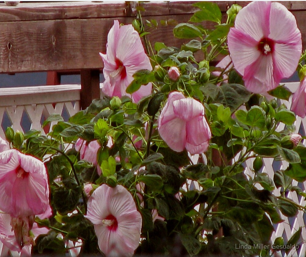 giant hibiscus by linda miller gesualdo redbubble. Black Bedroom Furniture Sets. Home Design Ideas