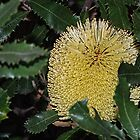 Yellow native Banksia flower Leith Park Victoria 20160429 6934  by Fred Mitchell
