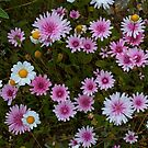 Daisy meadow by Catherine Dipper
