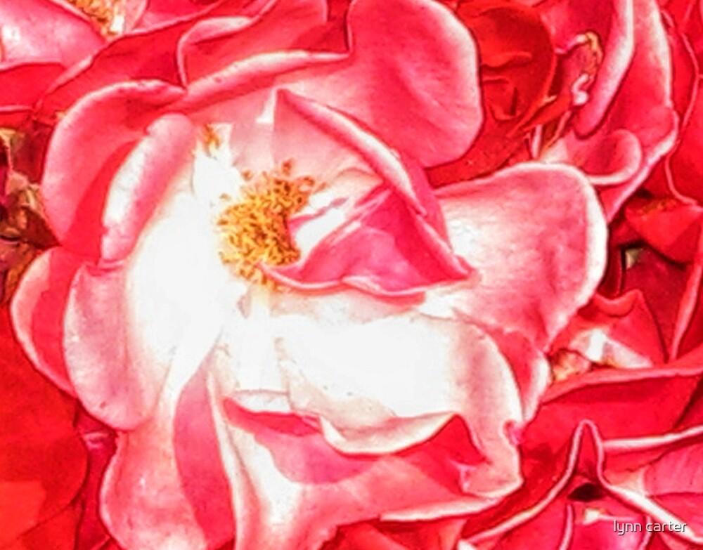 Silky Rose by lynn carter