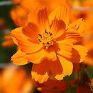Sweet Orange by Chappy