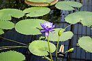 Water Lily by DonDavisUK