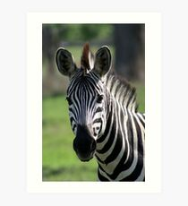 Zebra in Chobe National Park Art Print