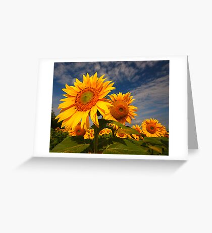 Sunflower morning 2 Greeting Card