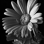 Red Gerbera Daisy 3 by Ostar-Digital