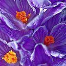Purple-Striped Crocus by T.J. Martin