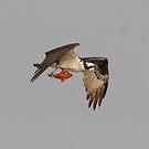 Osprey With Fish by DigitallyStill