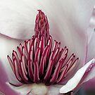 Magnolia stamens by Bev Pascoe