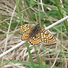 Marsh Fritillary by winterhare