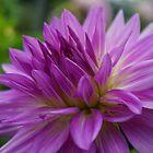 Purple Dahlia by clizzio