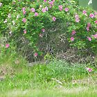 Wild Roses by Shulie1