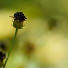 Lost petals by HelenaBrophy