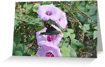 Long-tailed Blue Skipper in Wild Morning Glory by May Lattanzio