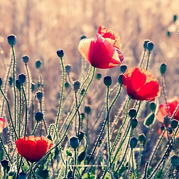 Poppies by montsefigueiro