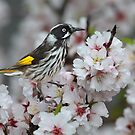 New Holland Honeyeater feeding on Almond Blossom by Seesee