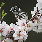New Holland Honeyeater enjoys the flowers by Seesee