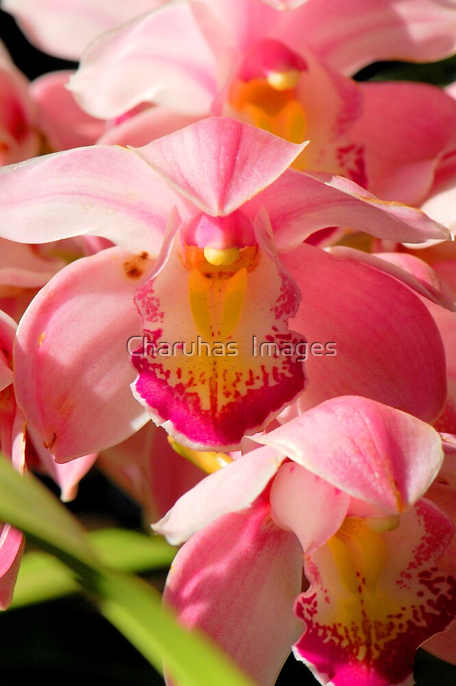 Pink Orchid  by Charuhas  Images