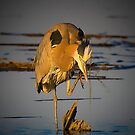Late Afternoon Great Blue Heron by TJ Baccari Photography