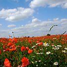 Poppies by miametro