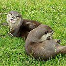 otter by darren  shaw