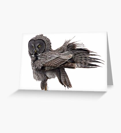 Great Grey Owl, Fluffing Greeting Card