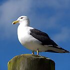 Black Backed Gull......King of the castle.......!! by Roy  Massicks