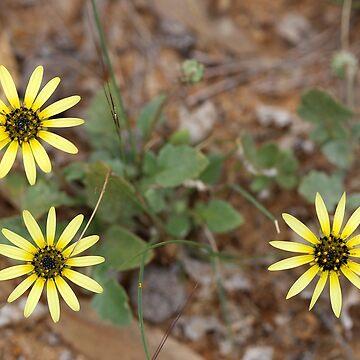 Yellow Daisy by STHogan