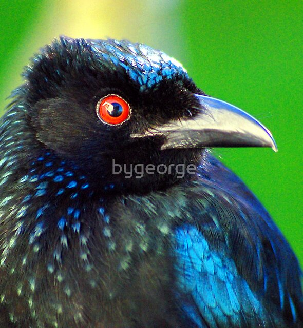 """""""And you call me a Drongo!"""" by bygeorge"""
