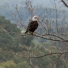 American Bald Eagle by barnsis