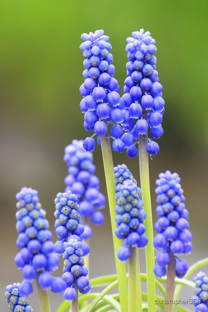 Grape hyacinth - lovely spring greetings by christopher363
