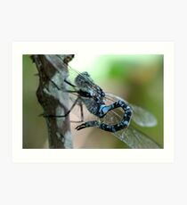 Canada Darner With Curled Tail Art Print