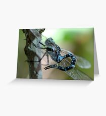 Canada Darner With Curled Tail Greeting Card