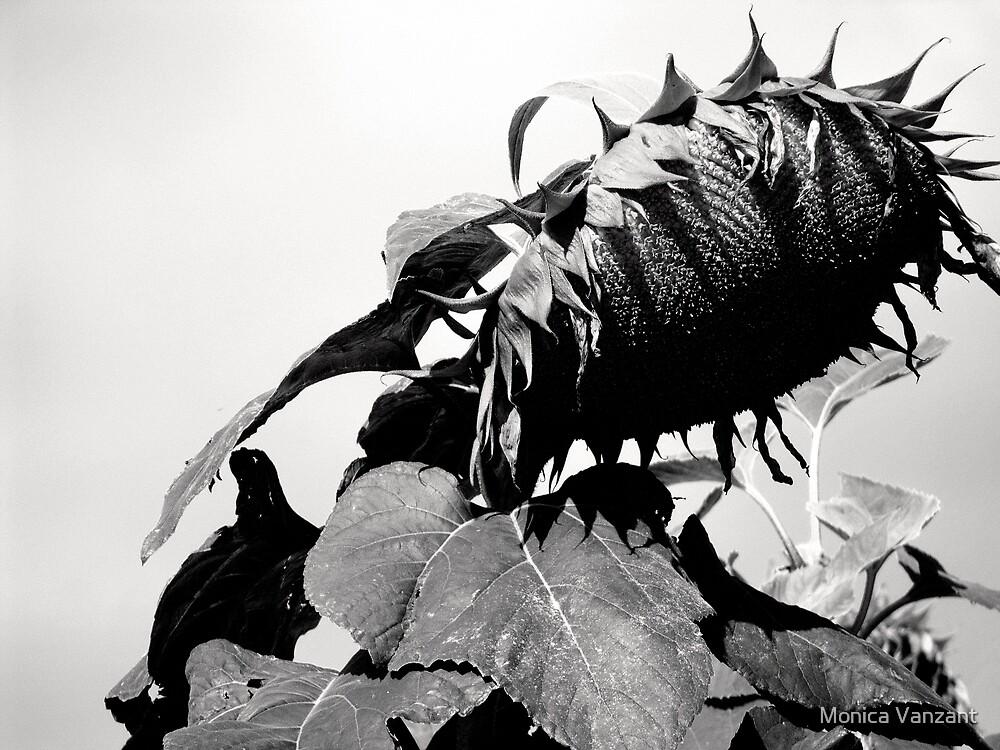Sunflower In Sunlight by Monica Vanzant