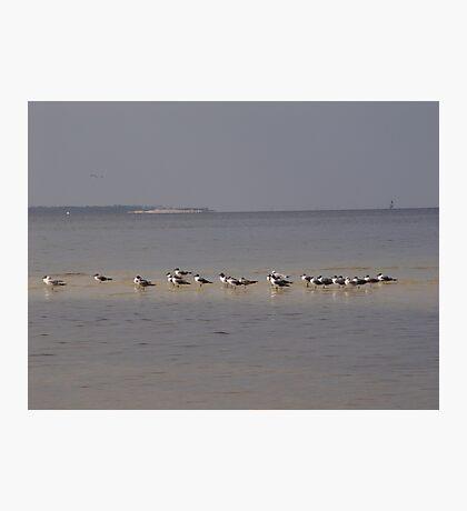 Terns on Sandbar Photographic Print
