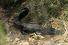 Alligator in weeds by Larry  Grayam