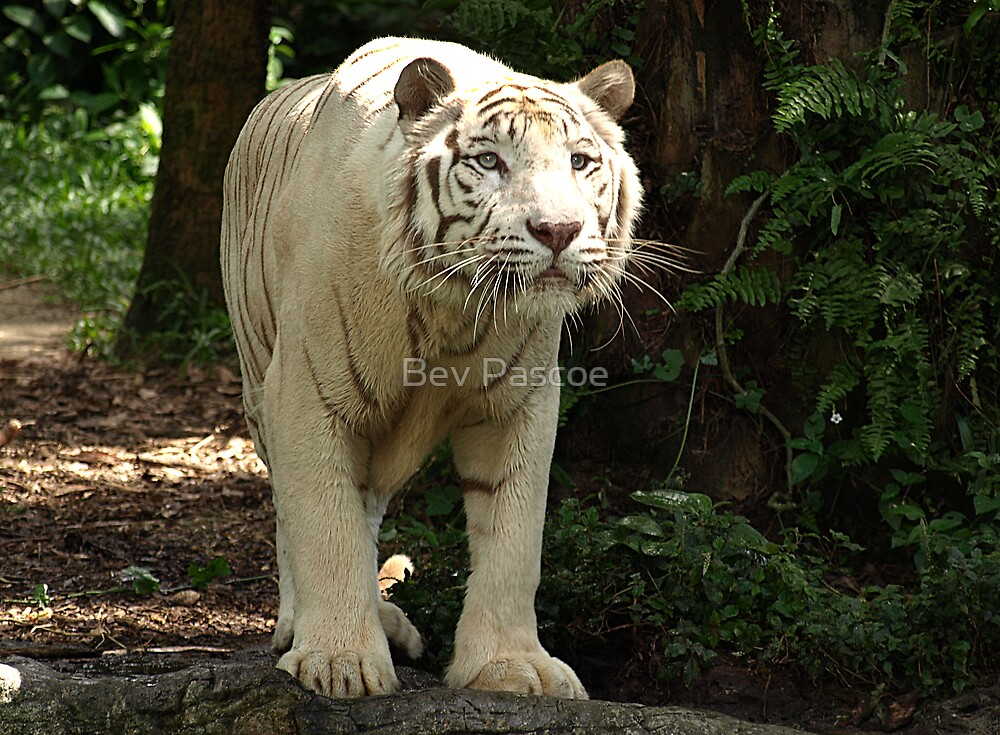 "White Tiger ""Omar"" by Bev Pascoe"